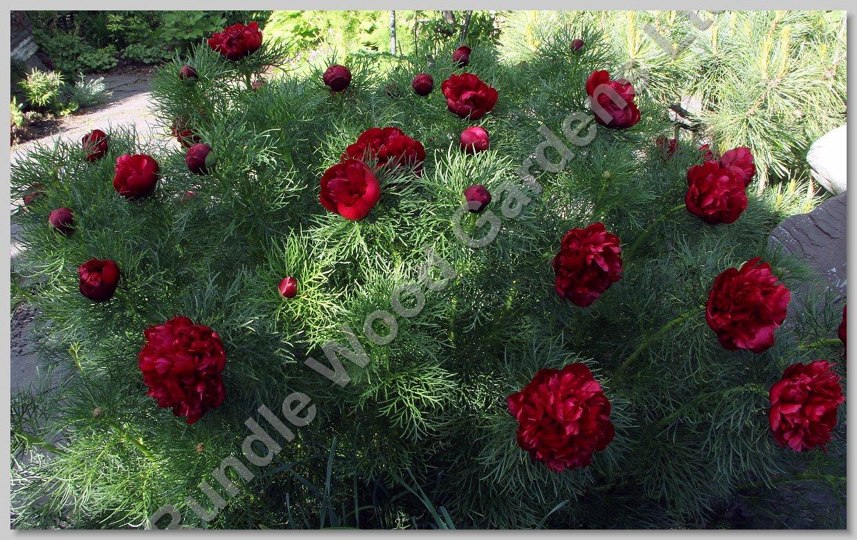 http://www.rundlewoodgardens.ab.ca/Gardens_through_Season/album/June%201/slides/IMG_4826a.jpg